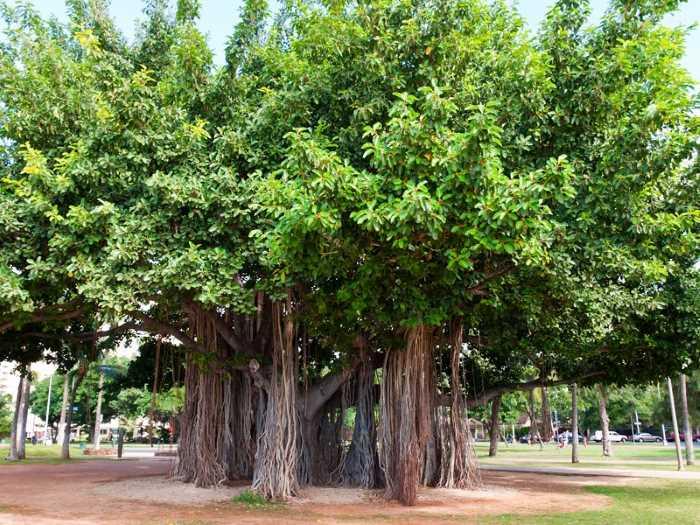 Banyan - Штаты США. Гавайи - 50 штат США
