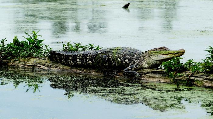 Alligator - Животный мир США