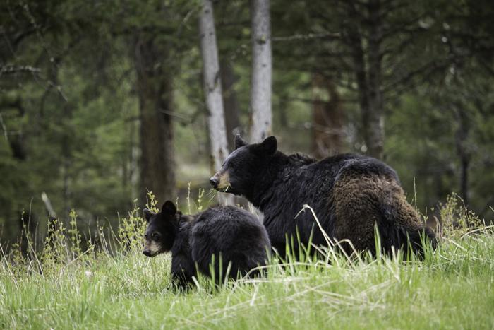 CHernye medvedi - Животный мир США