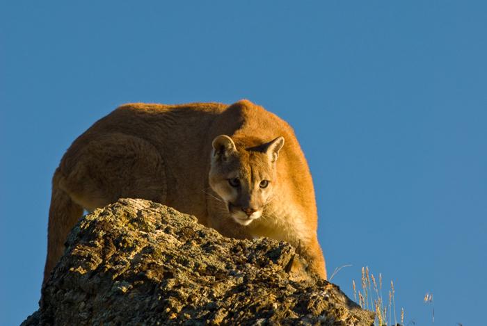 Puma - Животный мир США
