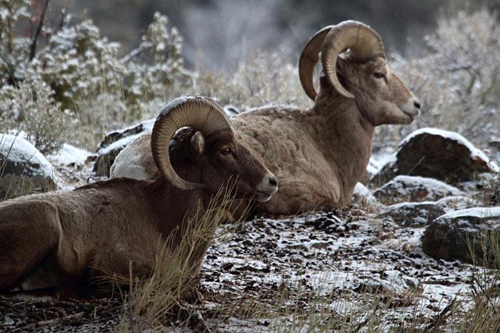 Snezhnyj baran - Животный мир США
