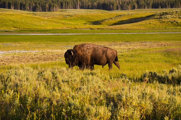 Fauna biosfernogo zapovednika - Йеллоустоун - национальный парк США